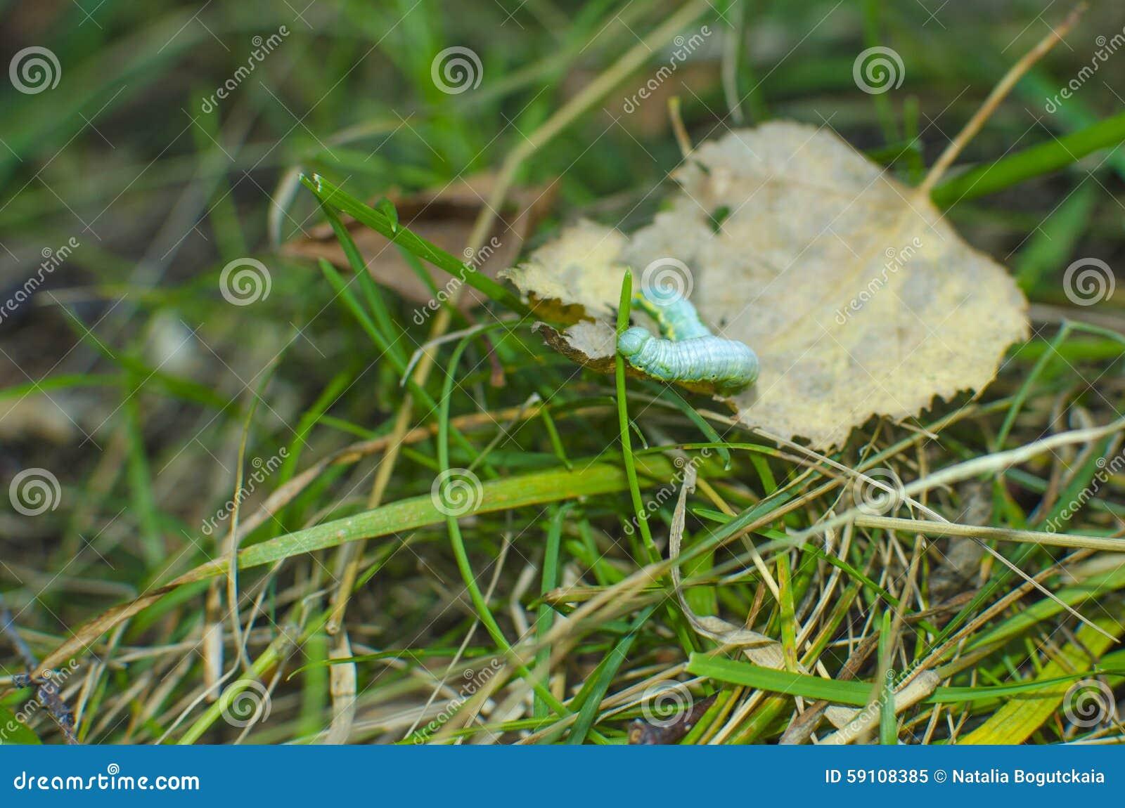 毛虫listvorotka