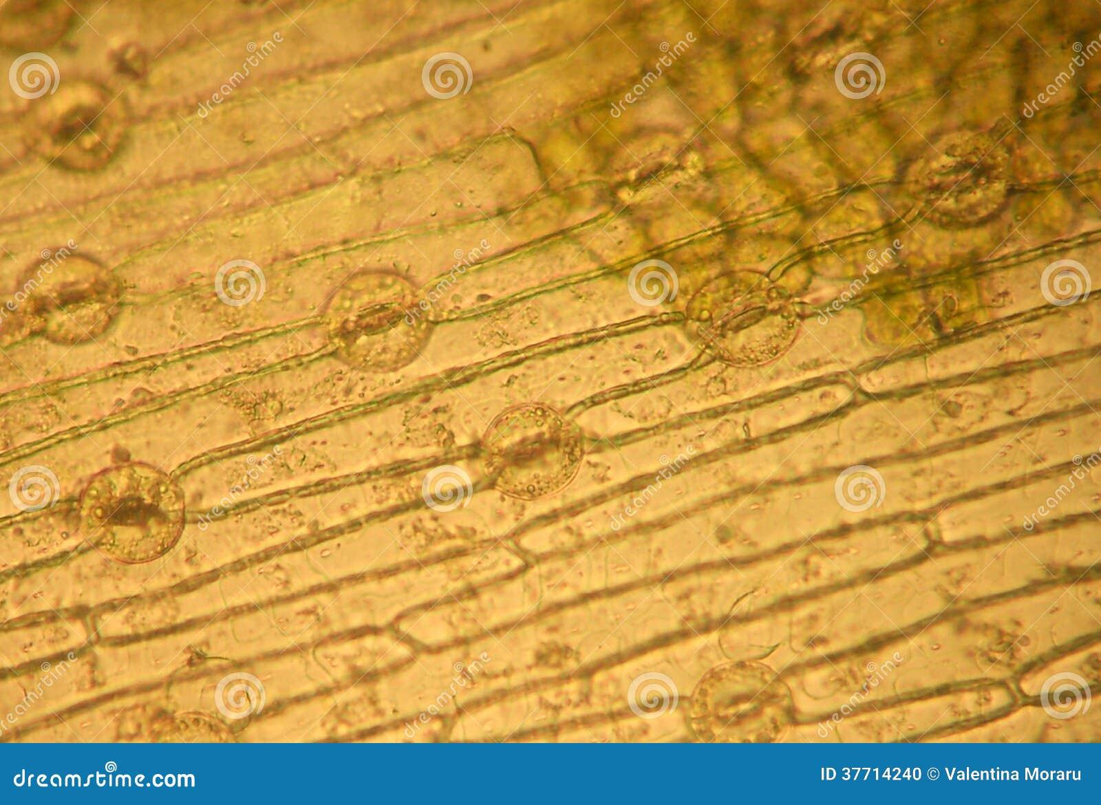 气孔-光学显微学