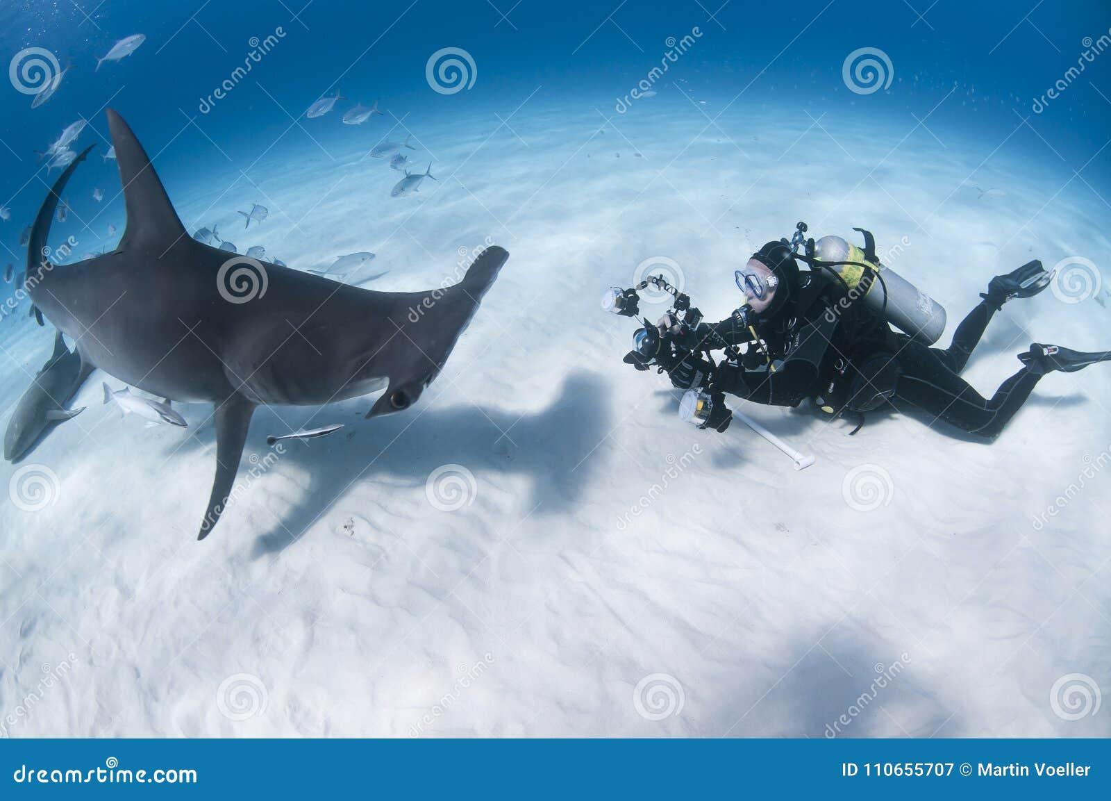 水下的摄影师面对面与伟大的双髻鲨在巴哈马的清楚的水域中