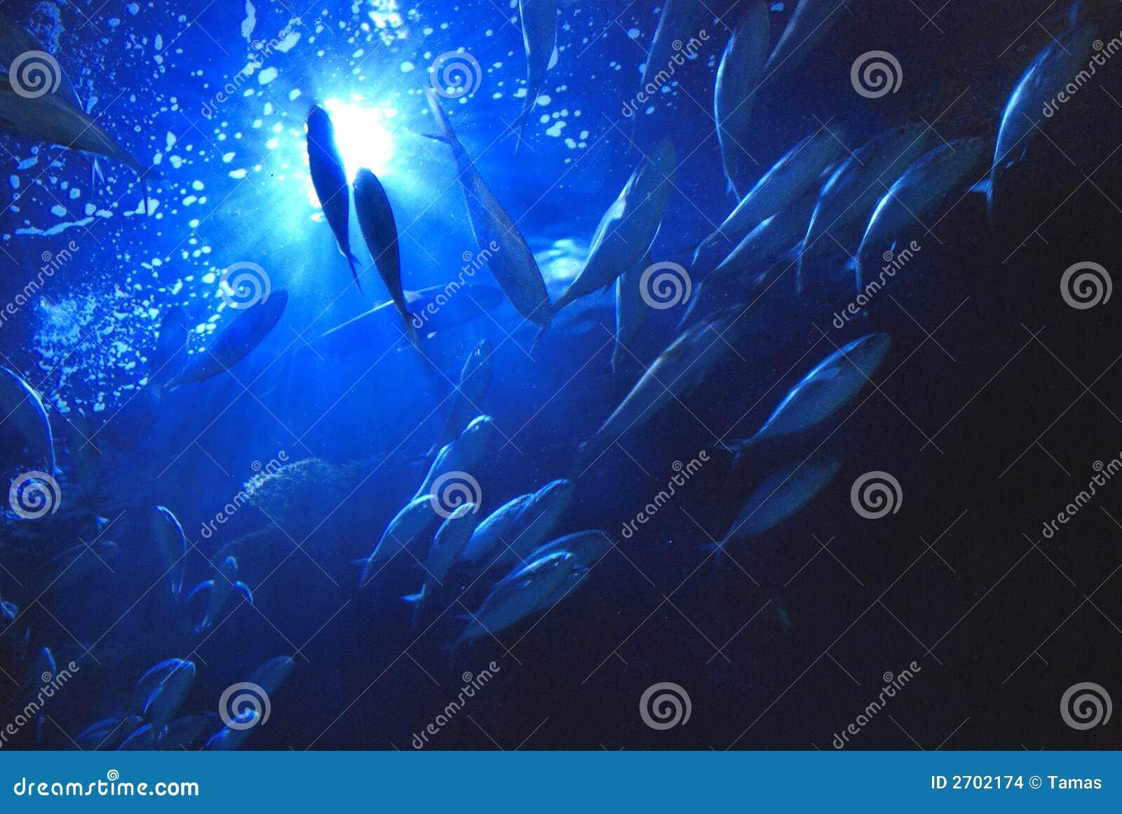水下的金枪鱼