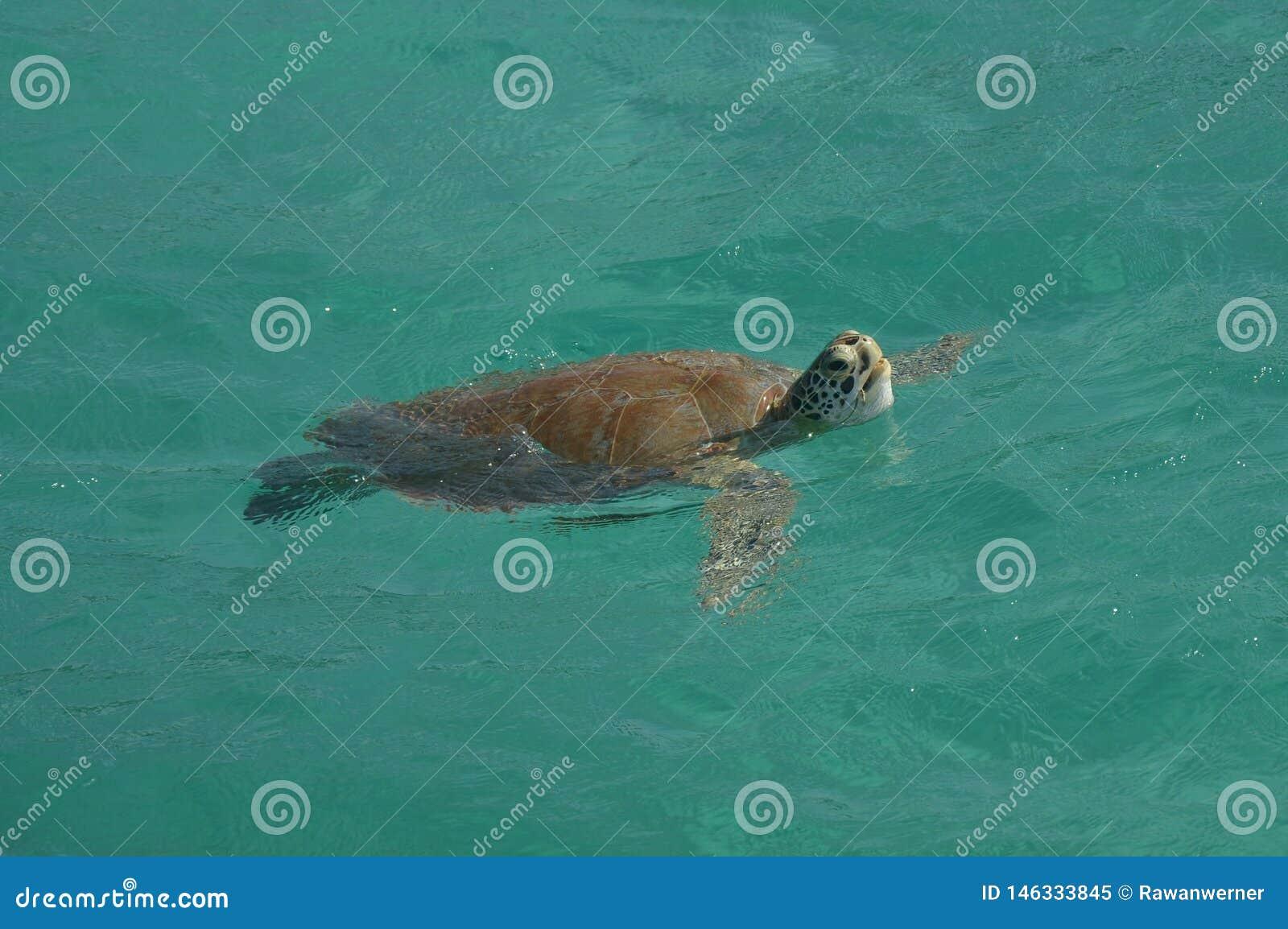 水乌龟Karibik Tobaga钥匙