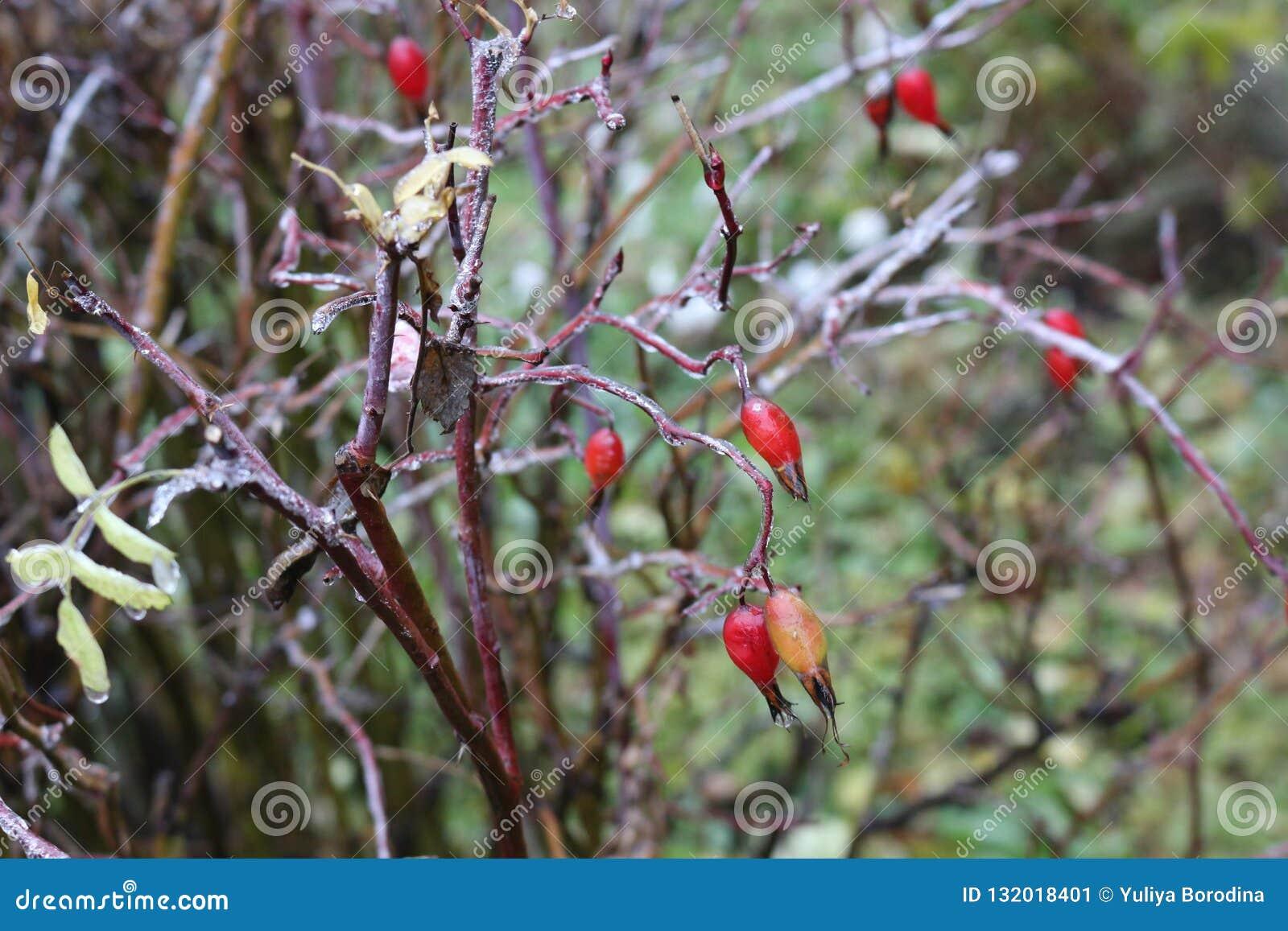 水在一朵野生玫瑰结冰了在雨以后 莓果和叶子用冰盖