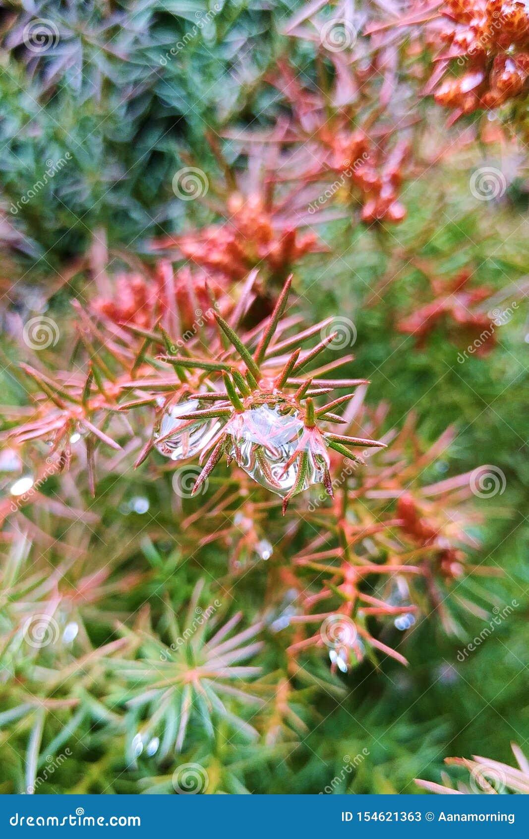 水大滴从雨的在一棵针叶树的针
