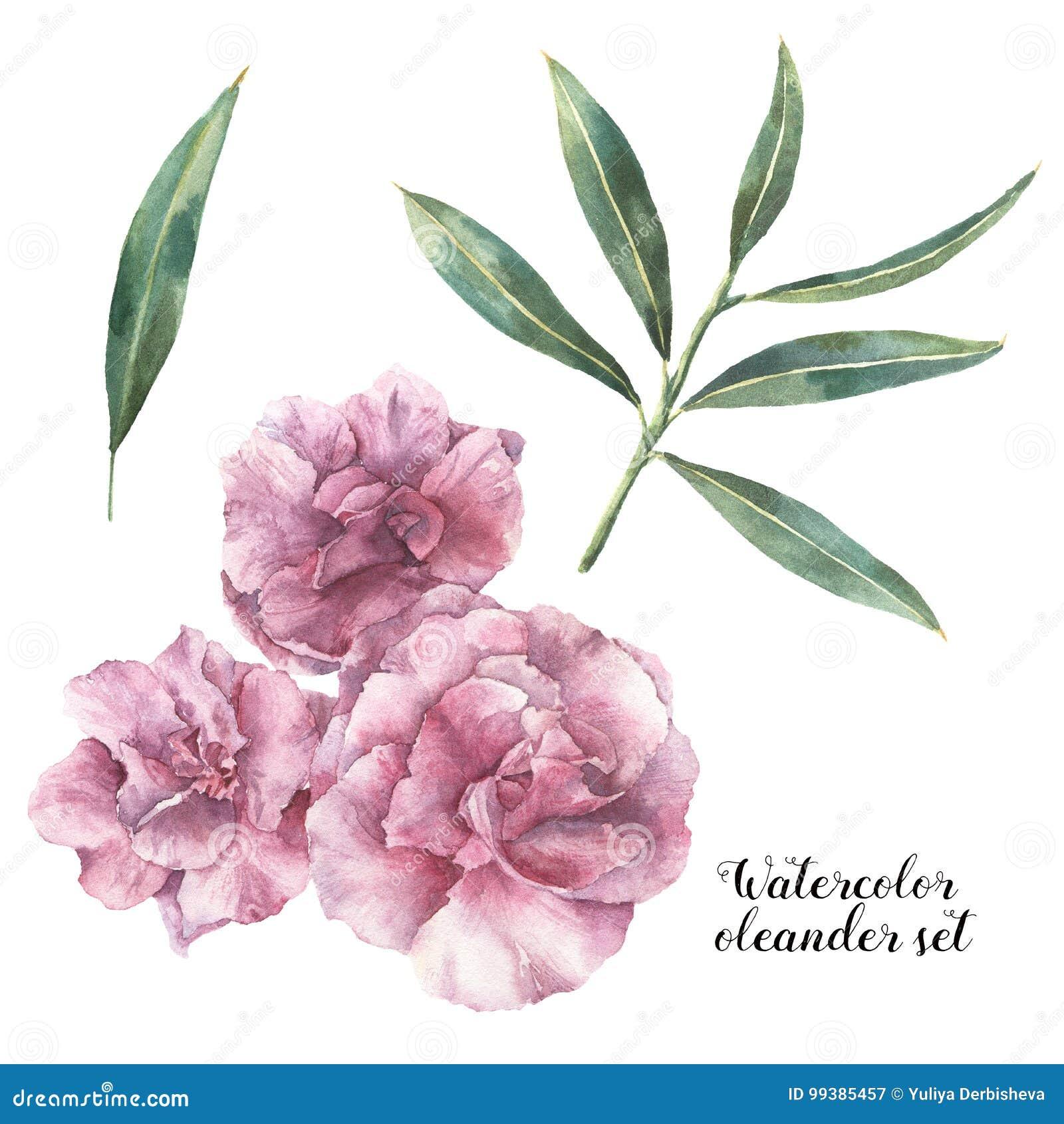 水彩花卉集合 与在白色背景和分支的手画夹竹桃花隔绝的叶子 玻色子