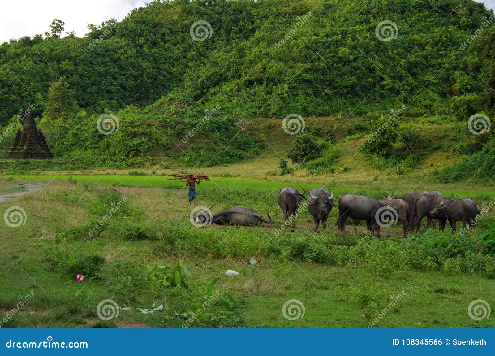 水牛牧群在温暖的黄昏太阳的在Mrauk U,缅甸