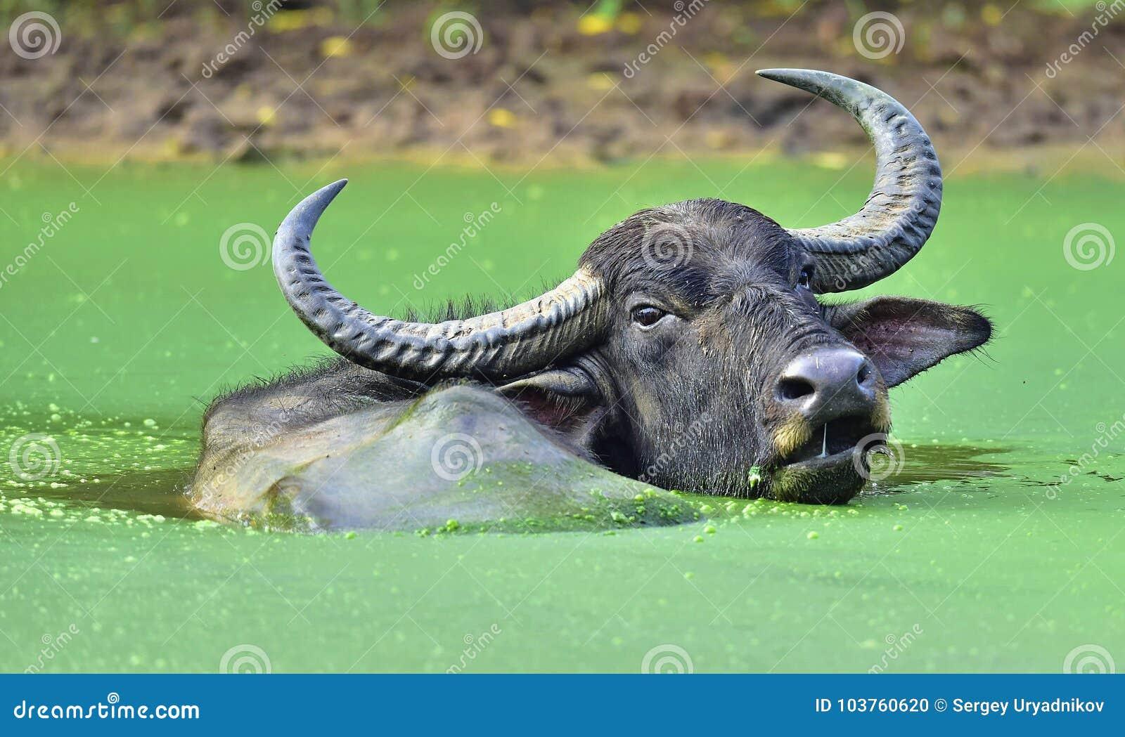 水牛的茶点 钾 斯里兰卡狂放的水牛水牛属arnee migona