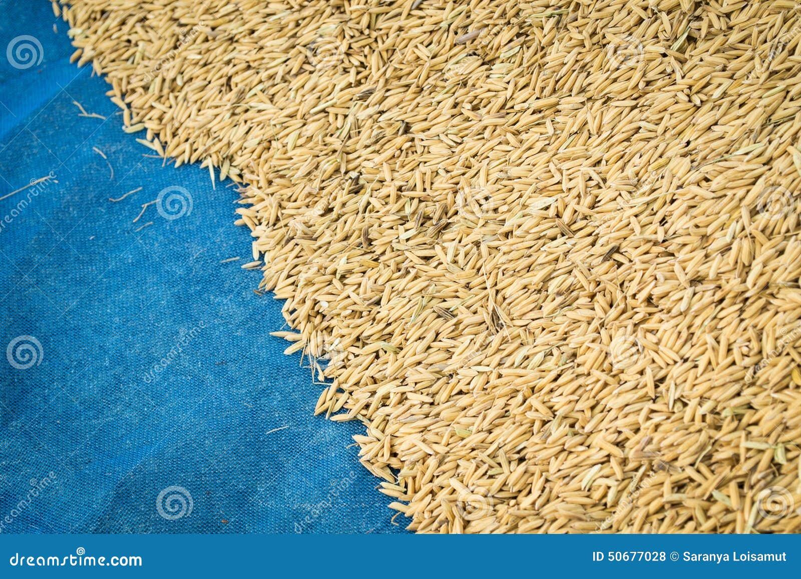 Download 水稻 库存照片. 图片 包括有 沙漠, 特写镜头, beauvoir, 食物, 充分, 阿尔卑斯, 气候 - 50677028