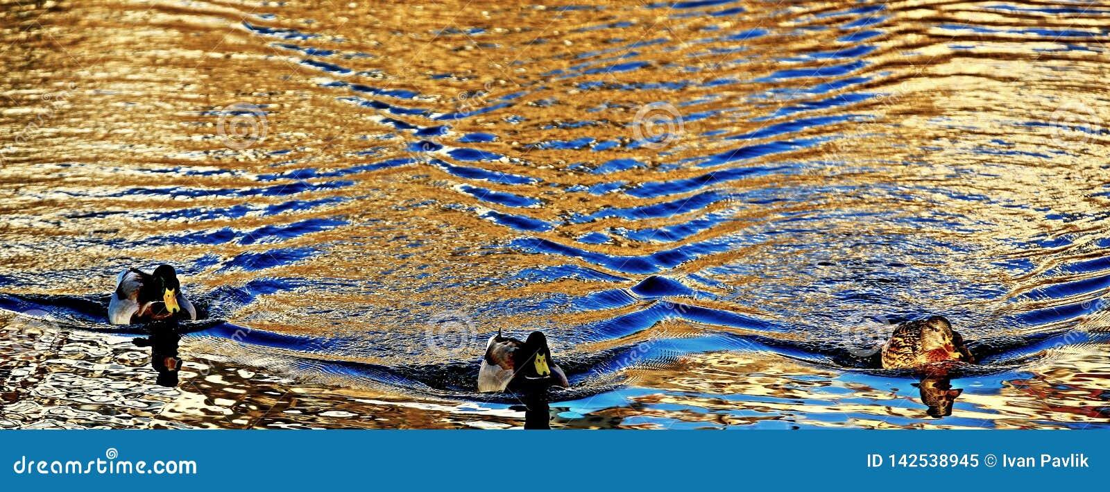 水表面和3只鸭子上的波浪