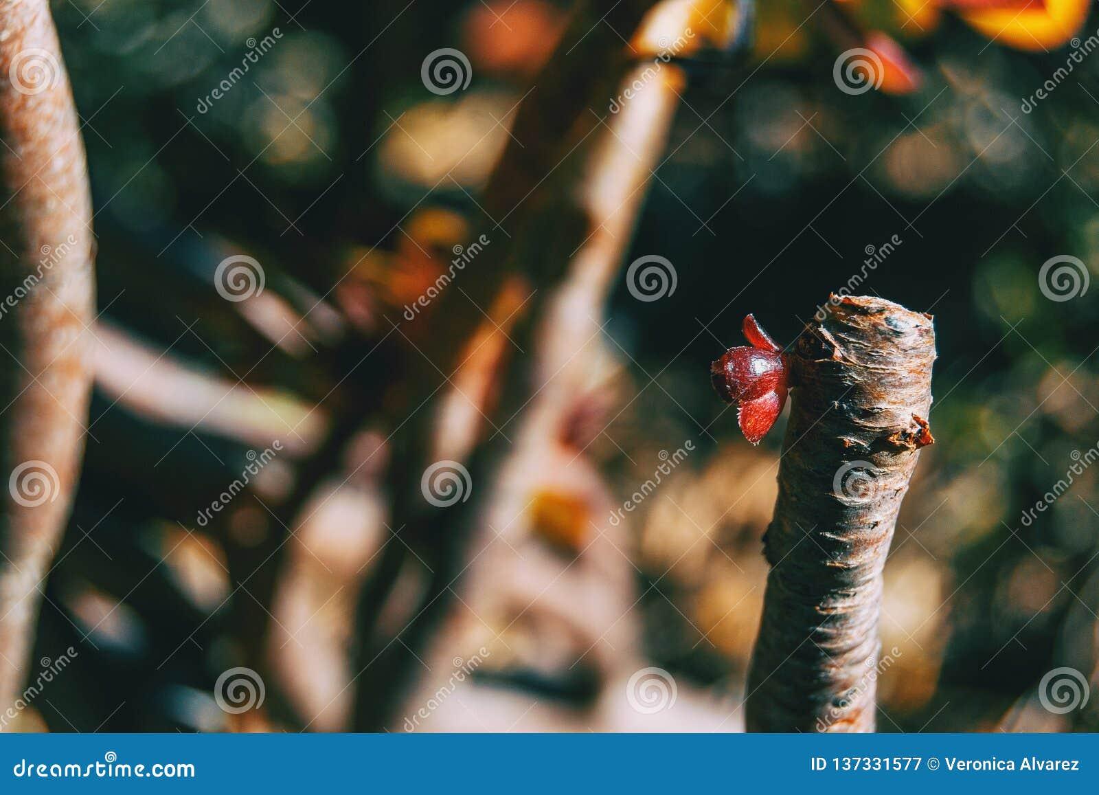 永世arboreum一个红色新芽的特写镜头