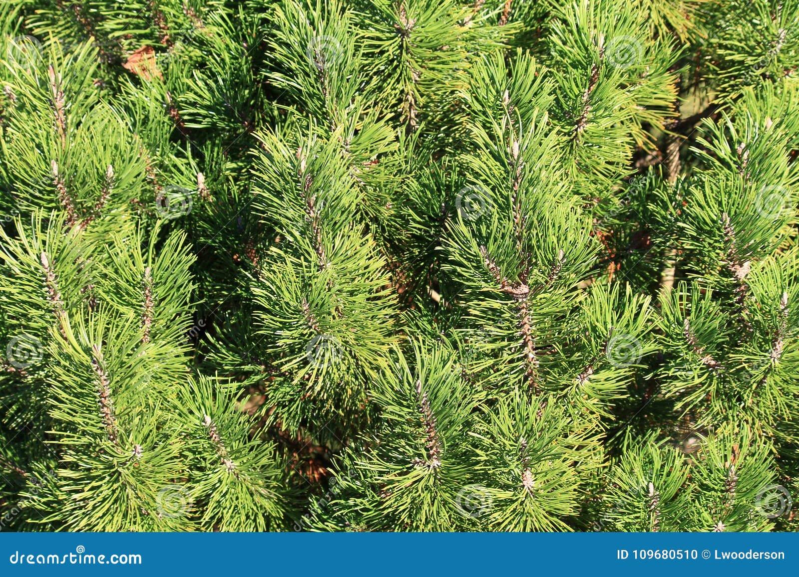 永远绿色常青树