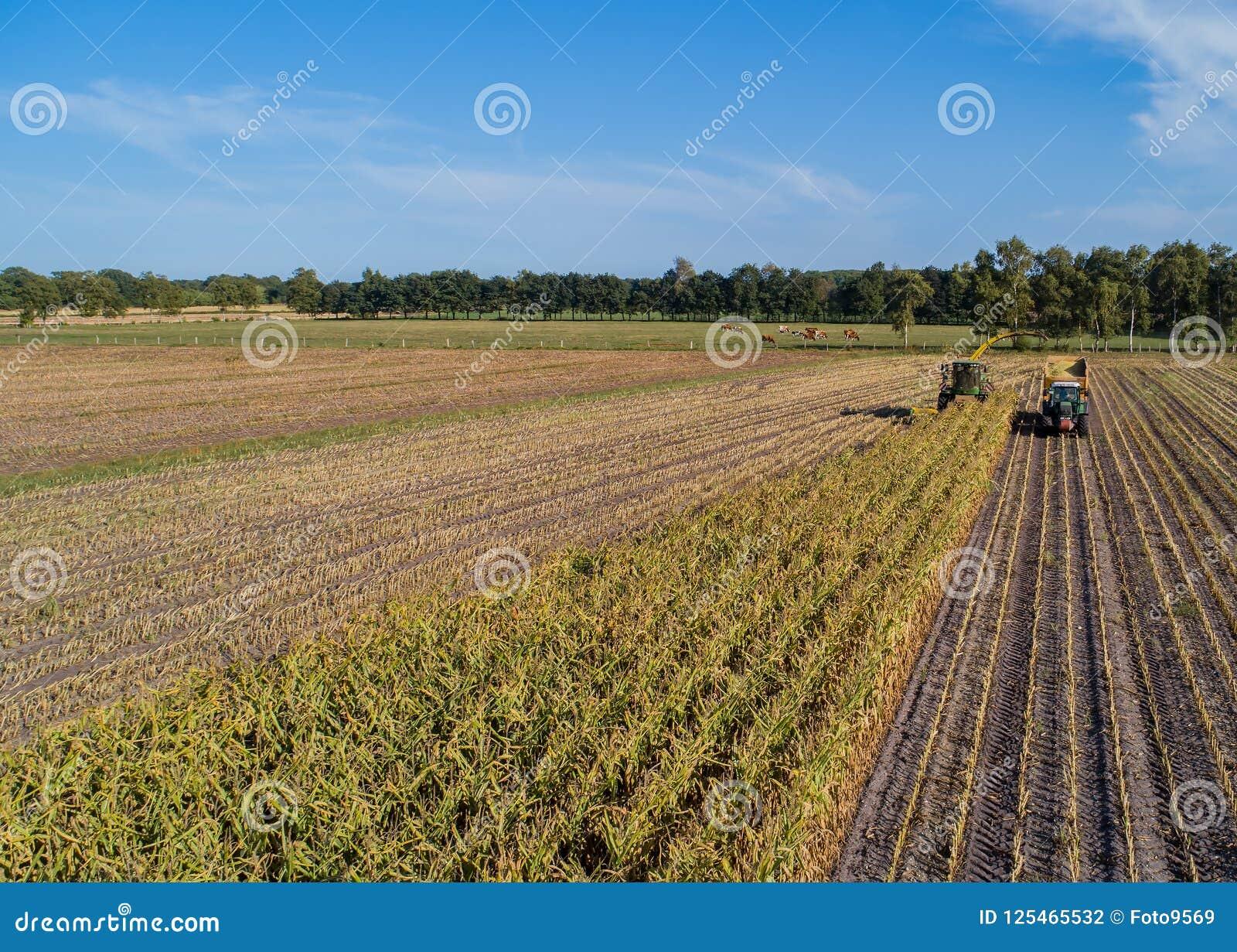 汉堡,德国- 2018年9月04日:玉米收获,玉米在行动的饲料收获机,有拖拉机的收获卡车在汉堡