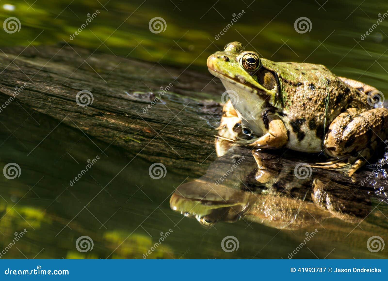 池蛙(蛙属clamitans)