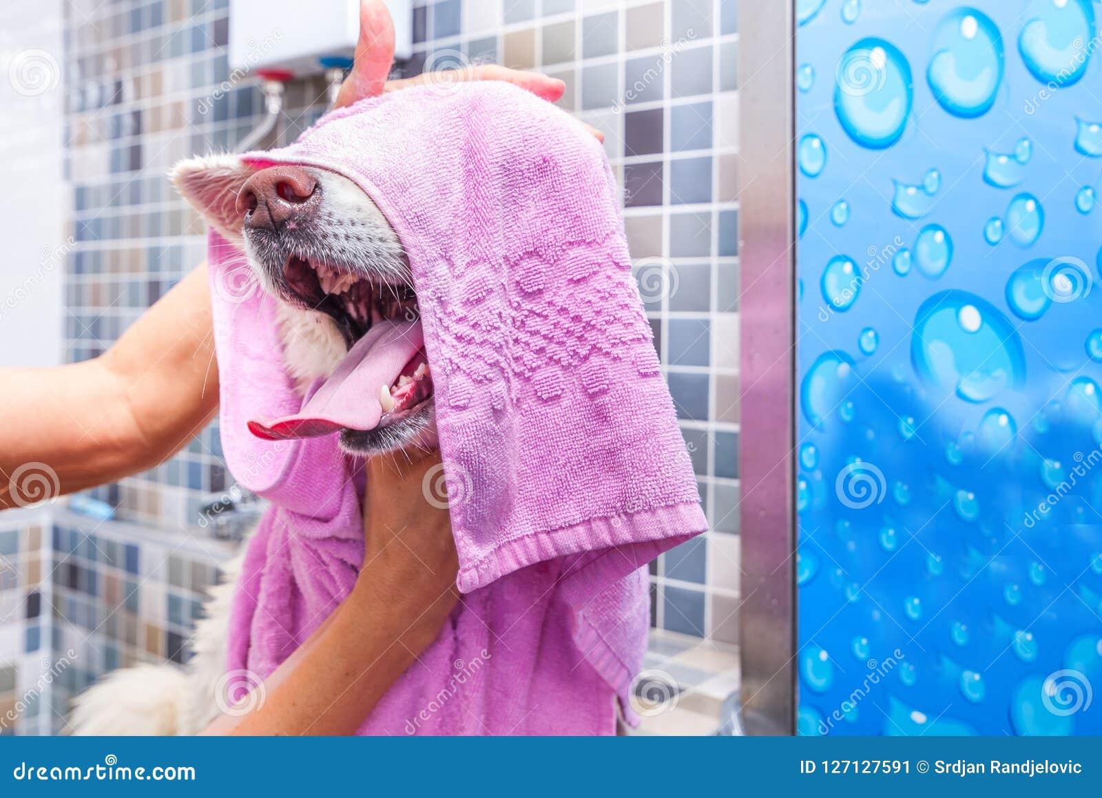 沐浴在有滑稽的面孔表示的,选择聚焦浴缸的大白色和湿秋田Inu狗
