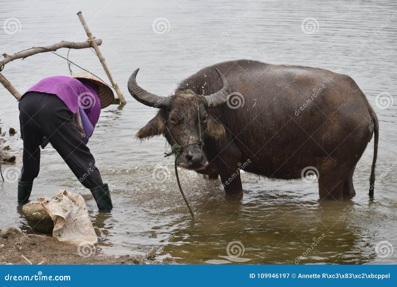 沐浴水牛的越南妇女的特写镜头在工作,越南,河内以后