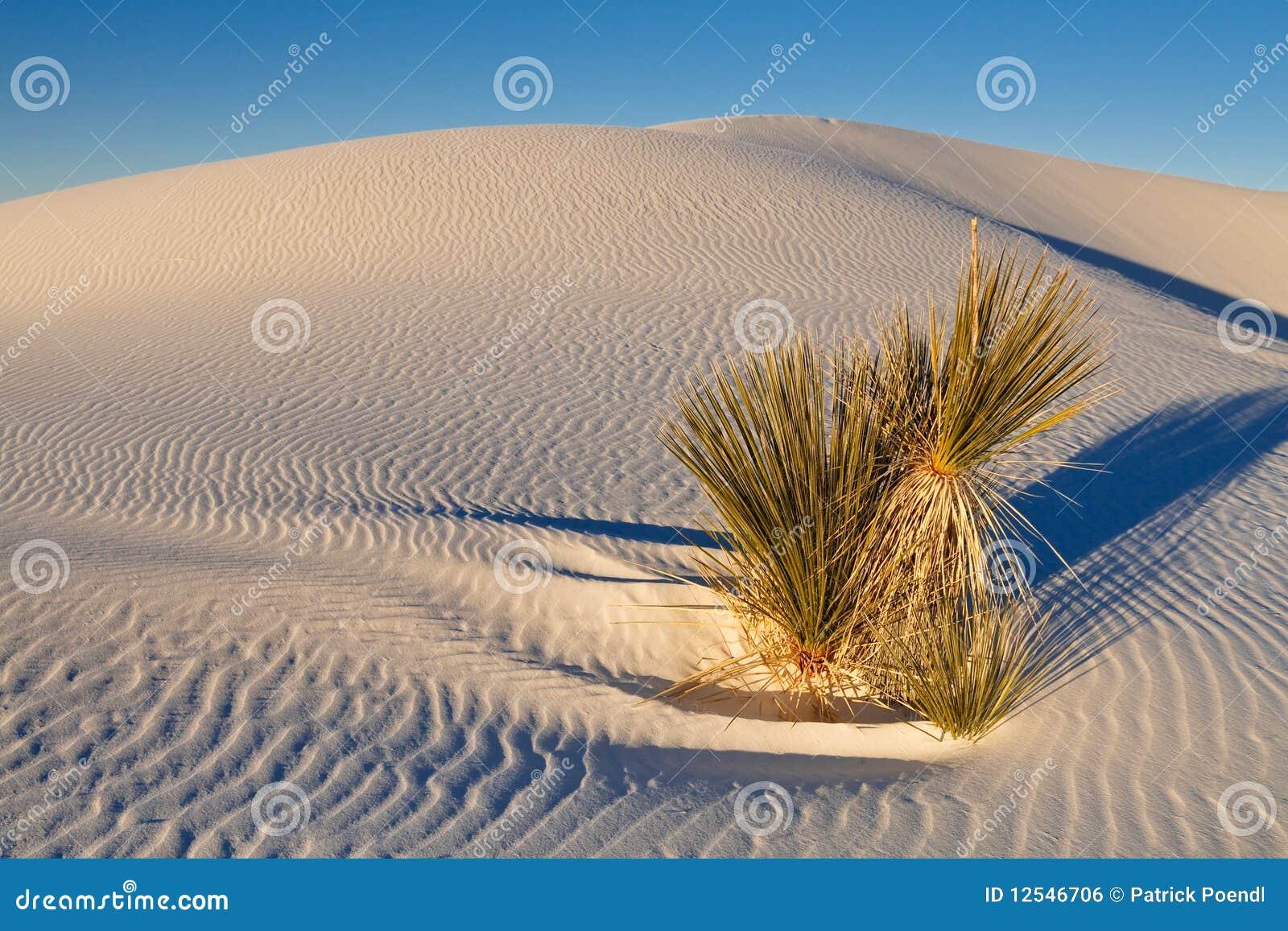 沙丘工厂沙子soaptree白色丝兰