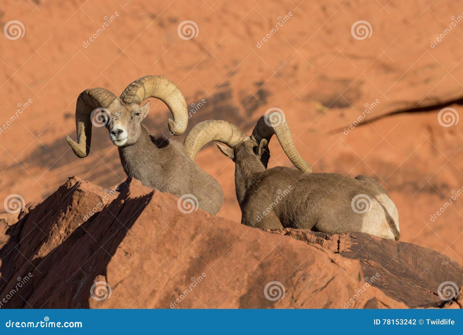 沙漠大角野绵羊公羊