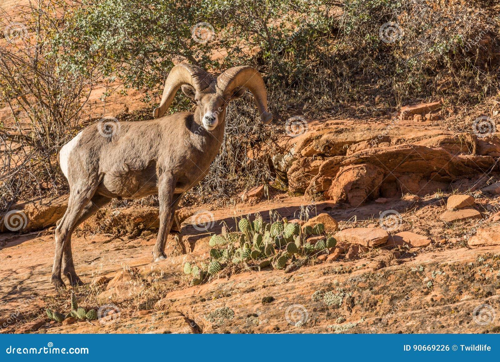 沙漠大角野绵羊Ram