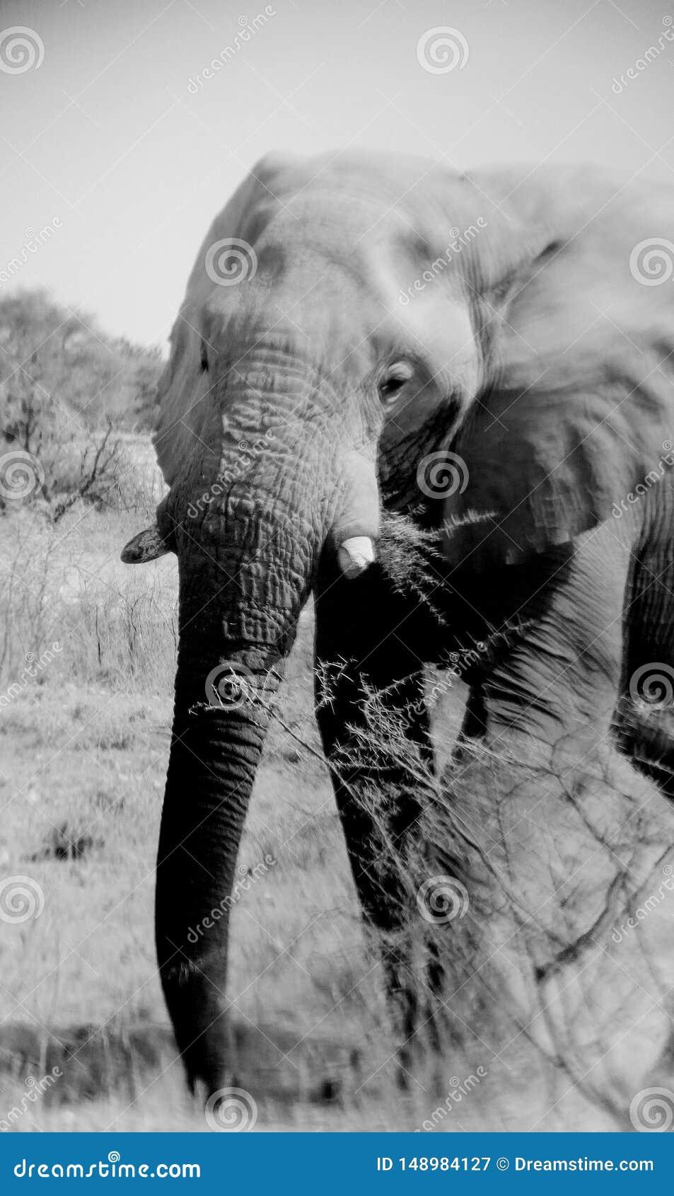 沙漠大象纳米比亚