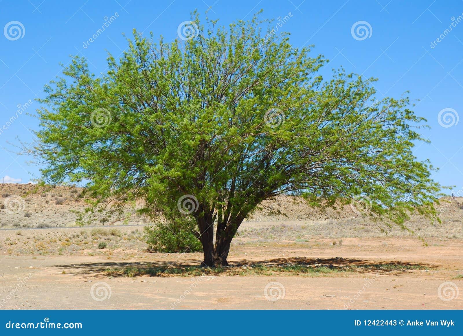 沙漠豆科灌木结构树
