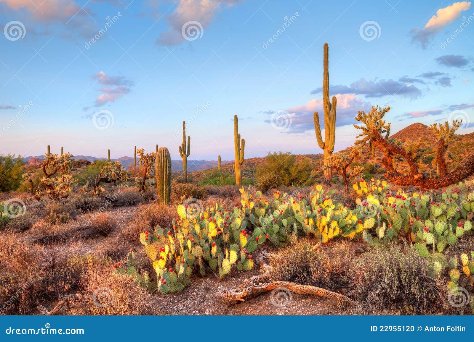沙漠sonoran