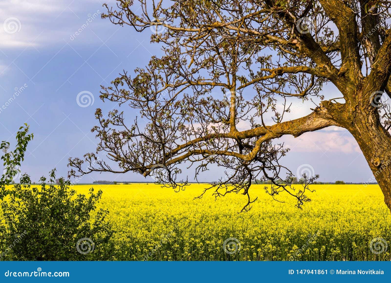 没有叶子的老核桃树在一个黄色领域的背景播种与强奸和天空蔚蓝