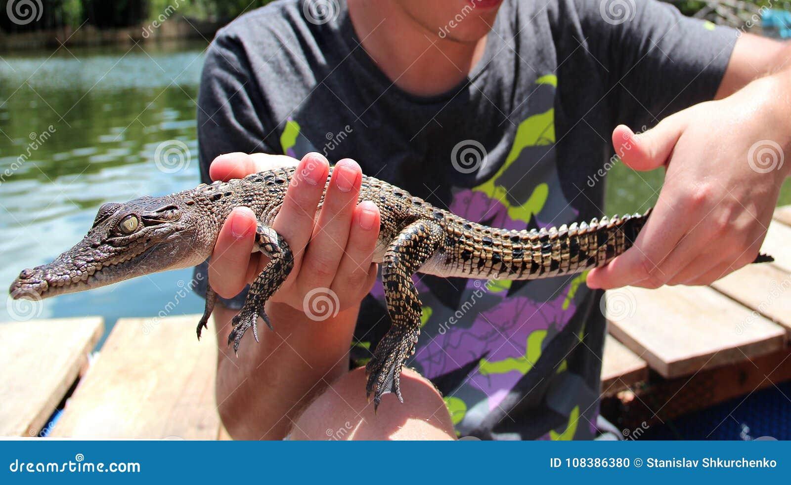 河在斯里兰卡 鳄鱼的崽