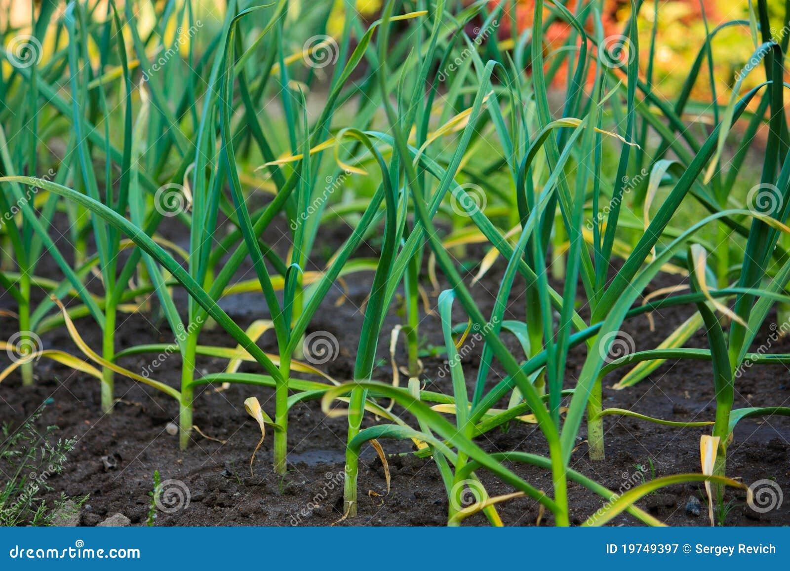 河床庭院大蒜绿色叶子