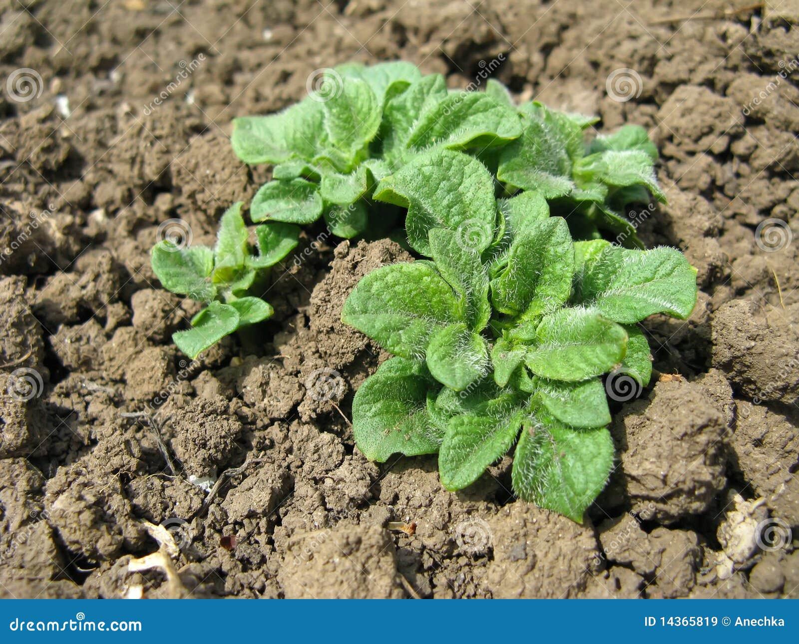 河床庭院生长土豆图片