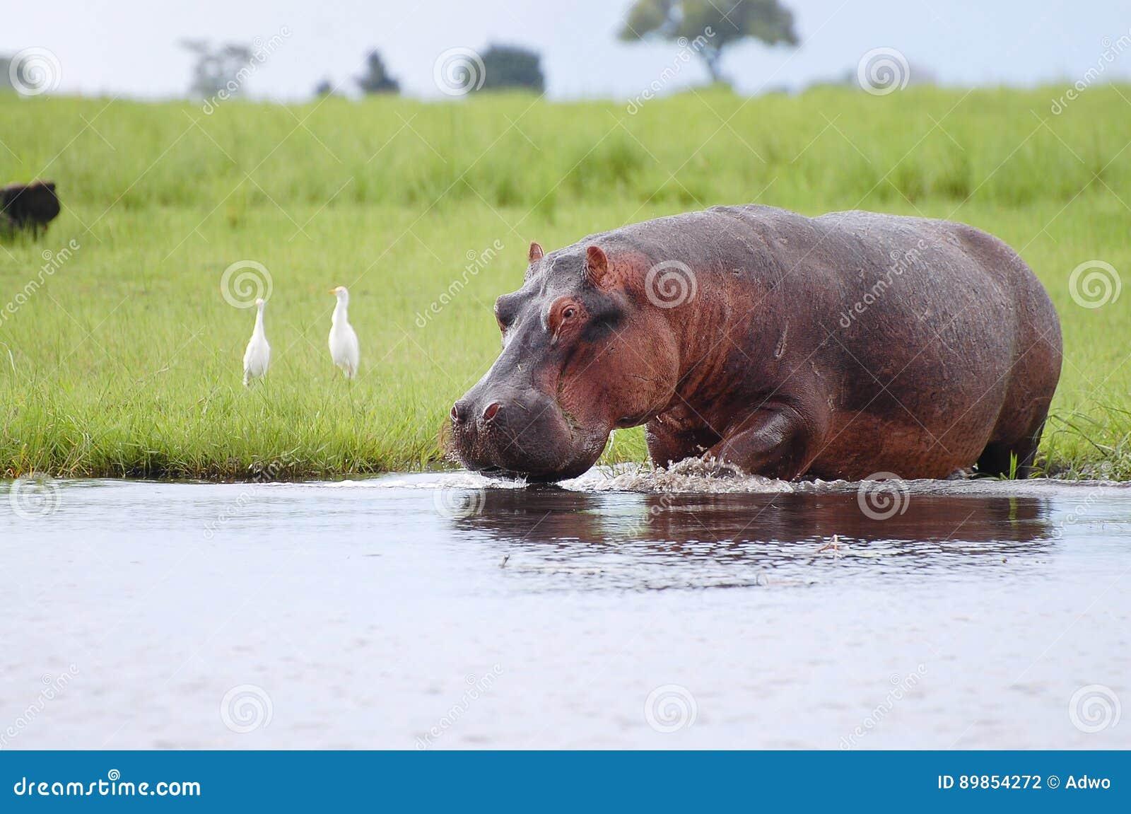 河马-乔贝国家公园-博茨瓦纳