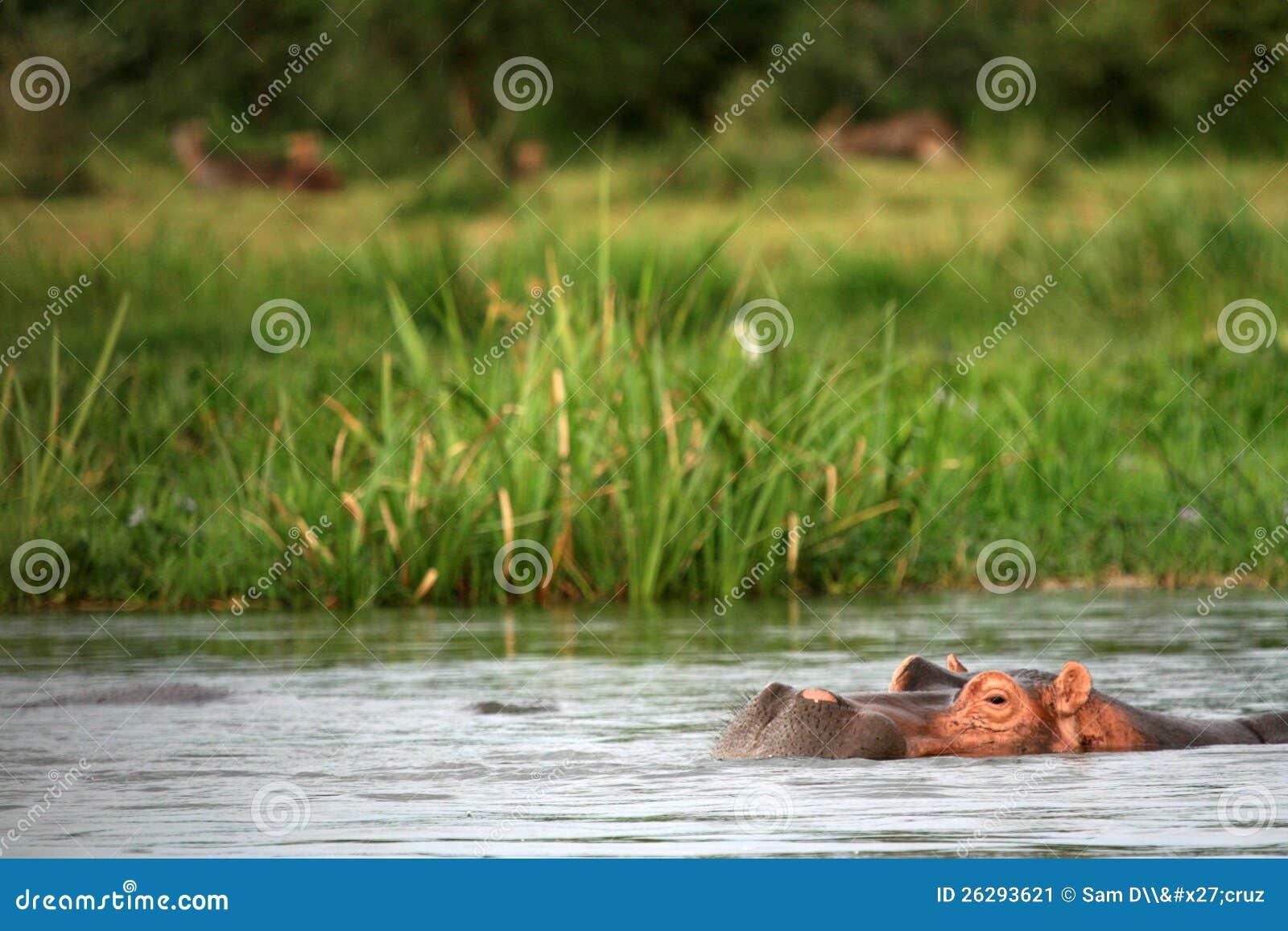河马- Murchison下跌NP,乌干达,非洲