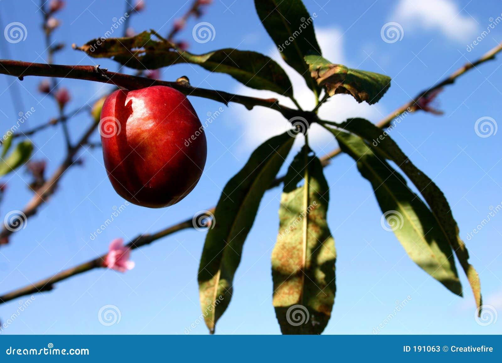 油桃结构树