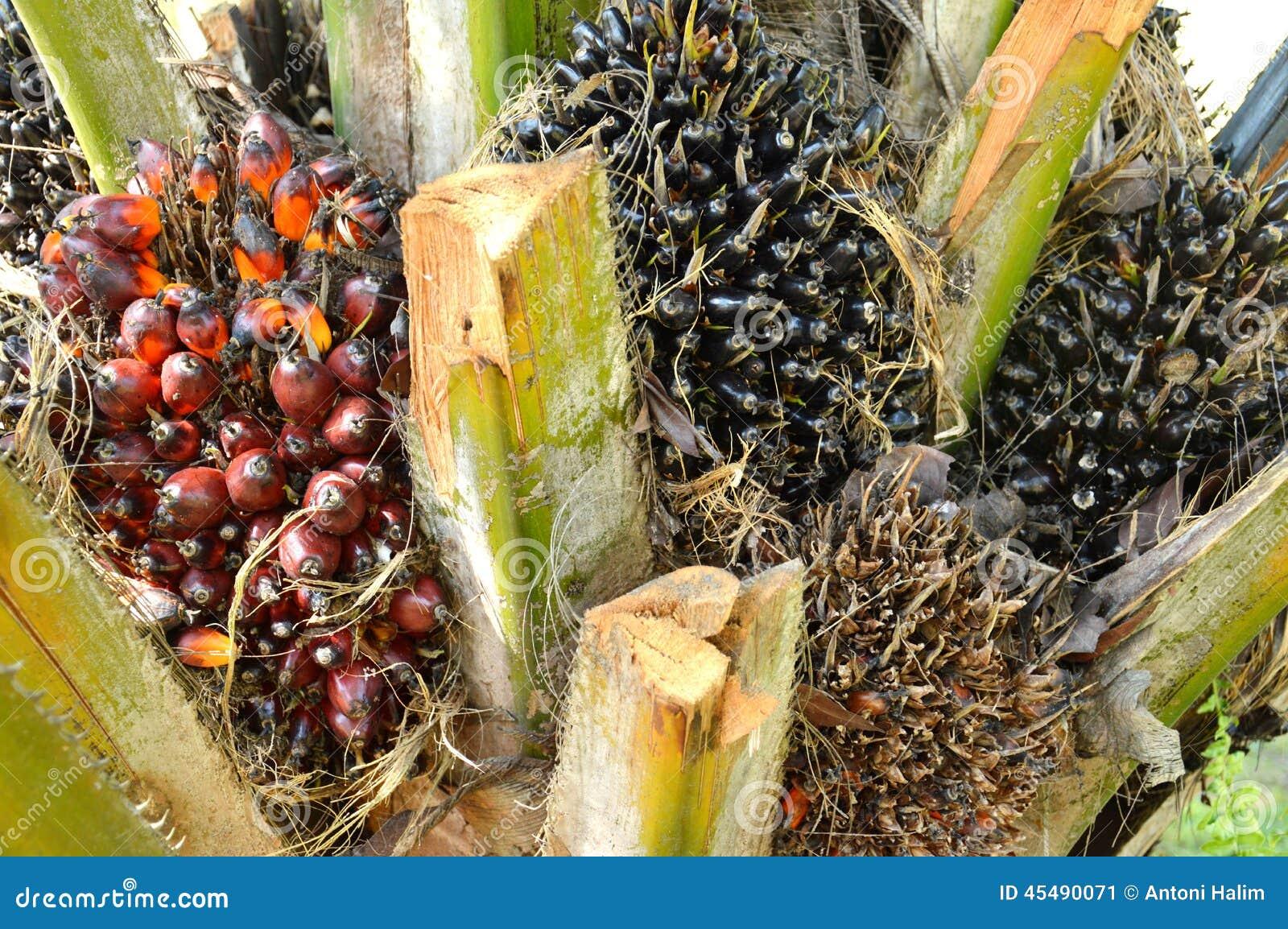 油棕榈树果子