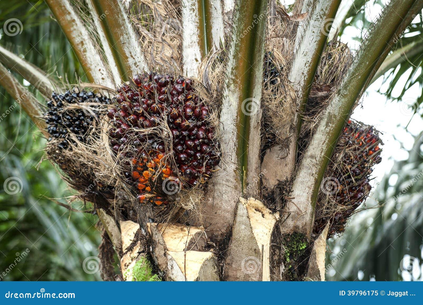 油棕榈树树