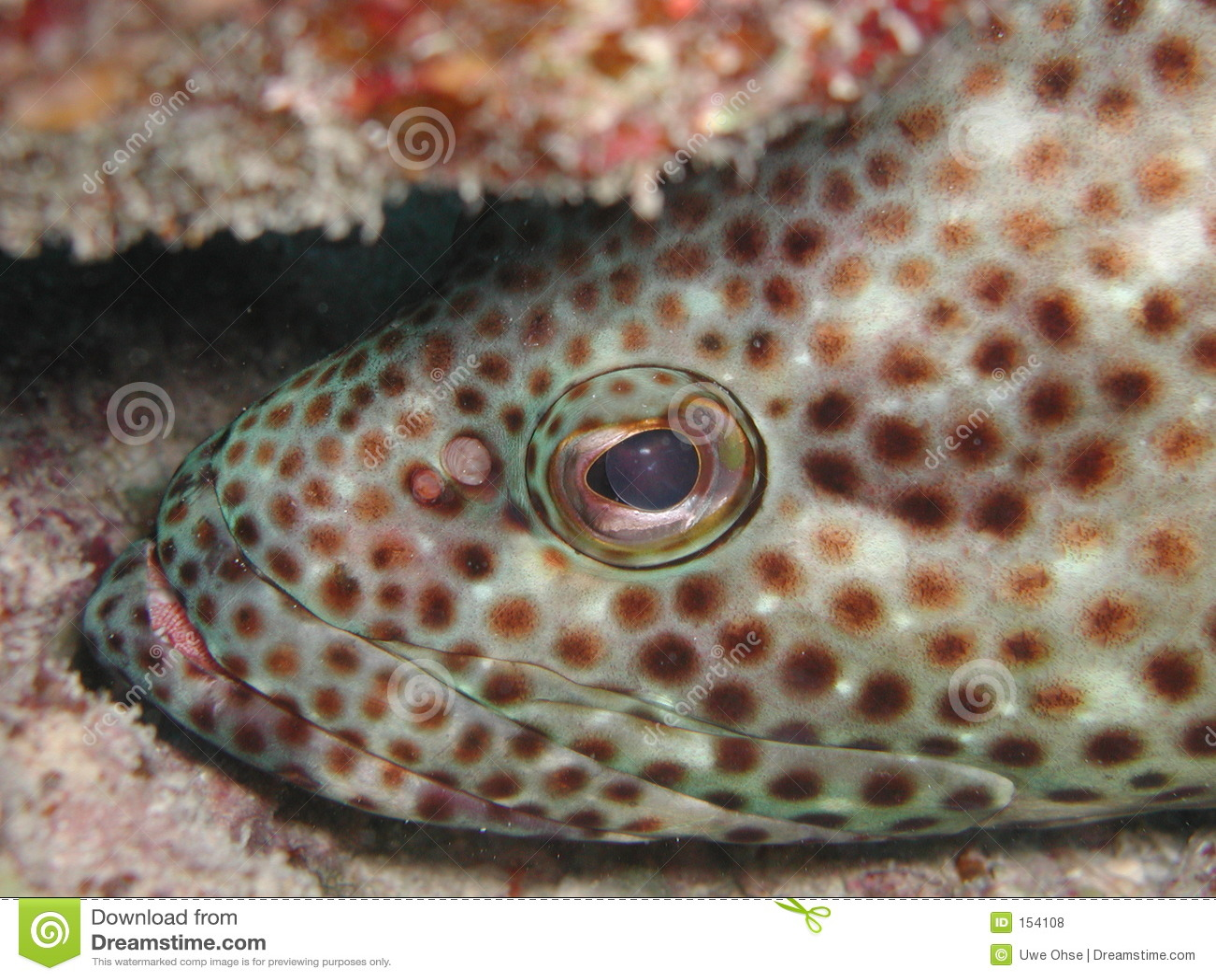 油腻石斑鱼