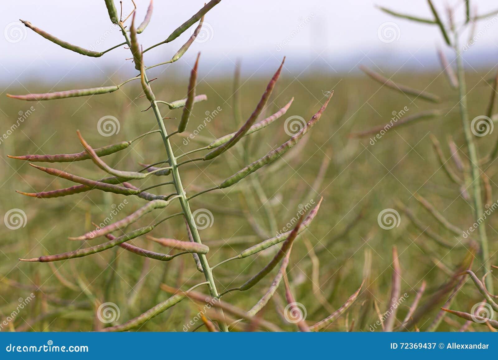 油菜籽种子荚,开花的油菜花紧密