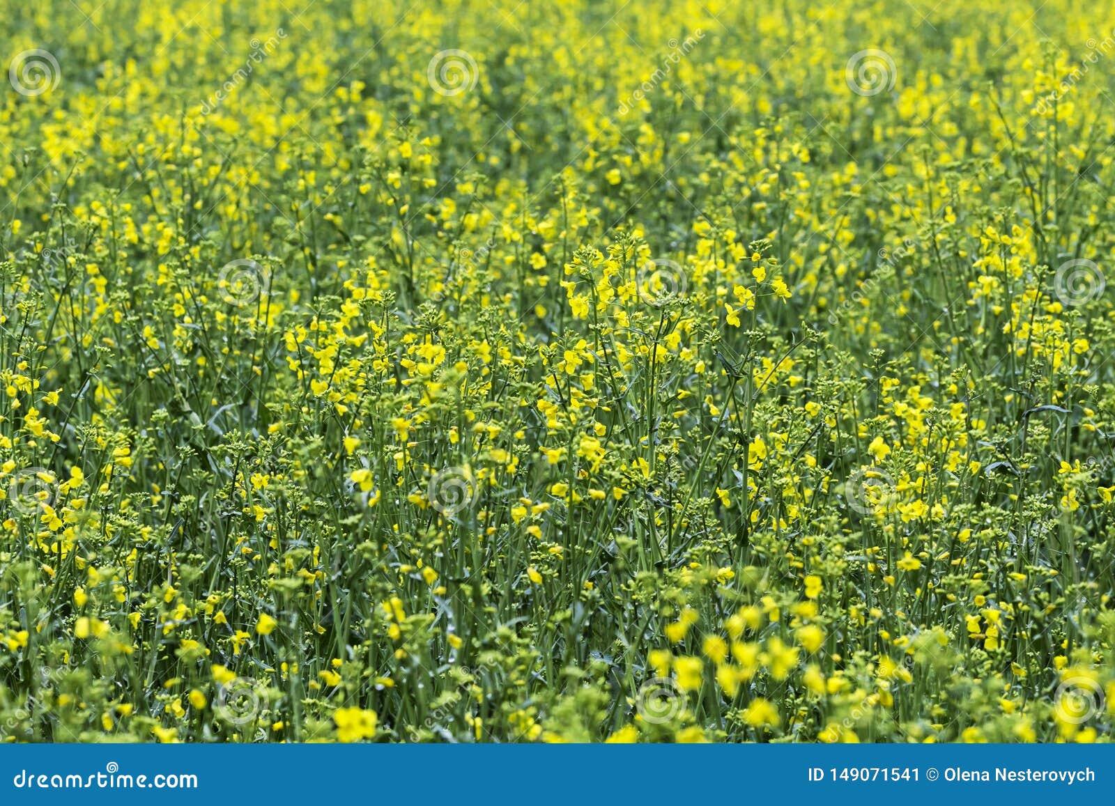 油菜籽领域,开花的油菜花紧密  在领域的强奸在夏天