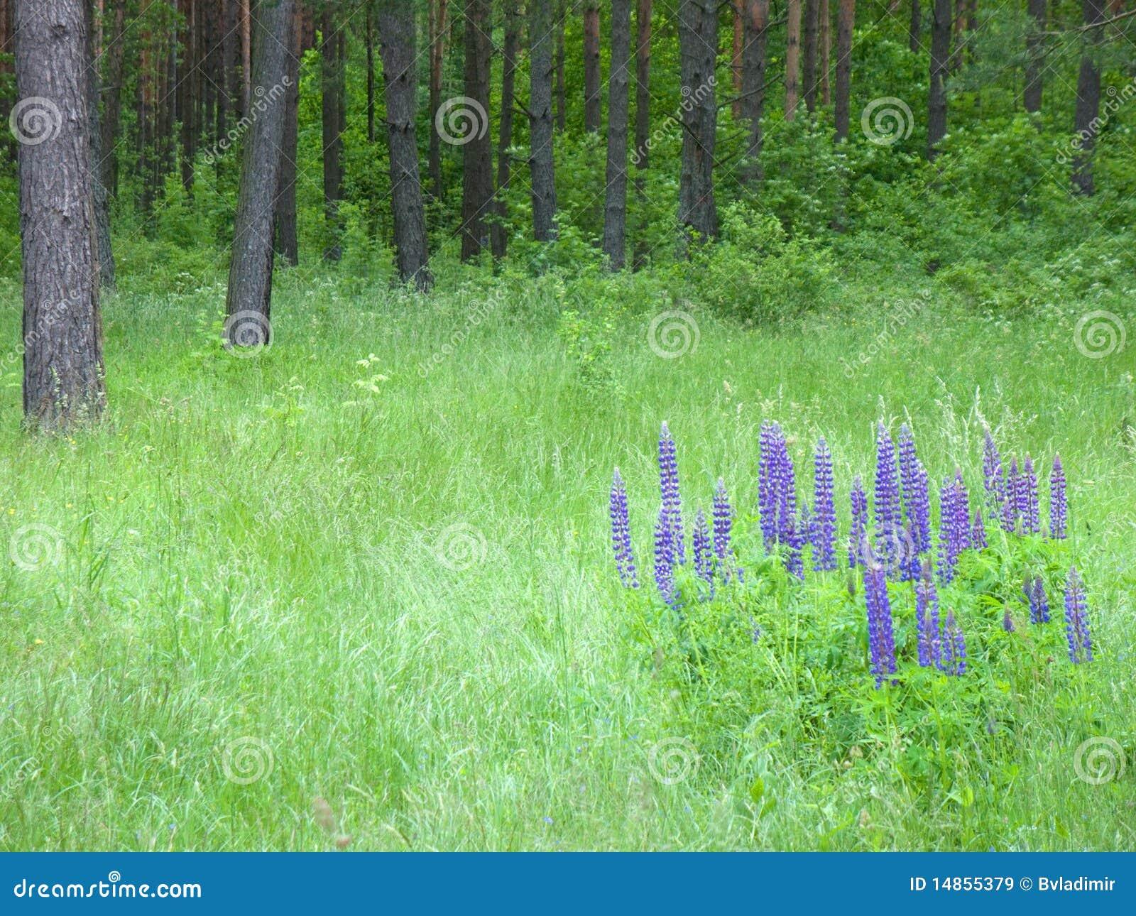 沼地羽扇豆