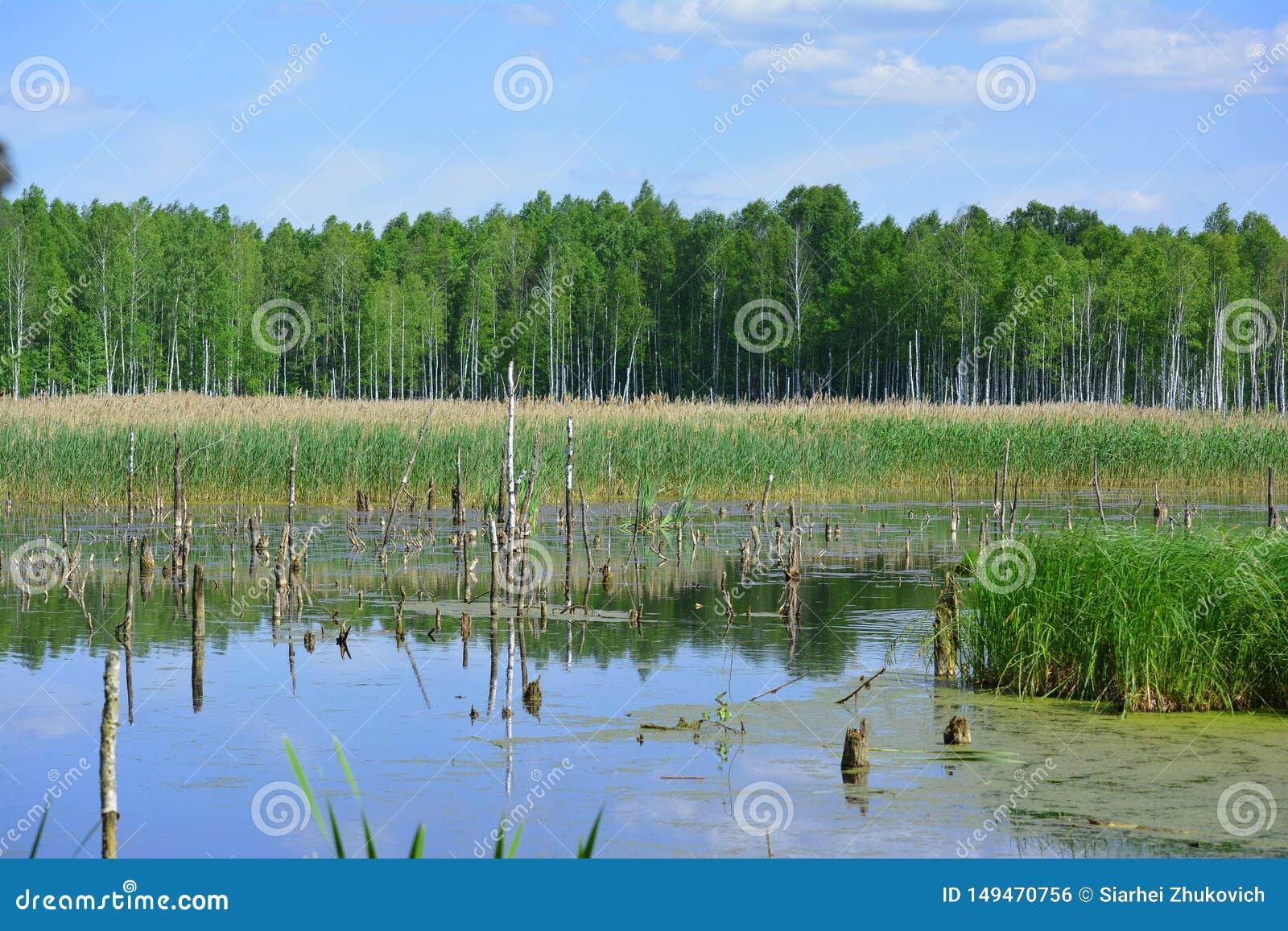 沼泽地在白俄罗斯在好日子