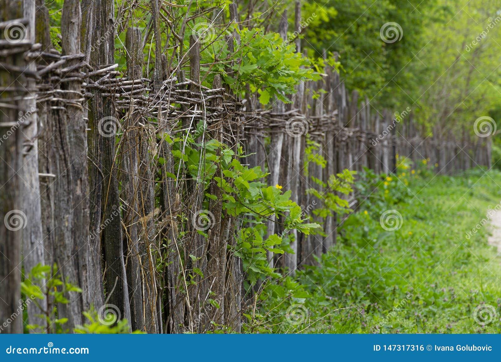 沿着农村路的脆弱土气柳条篱芭