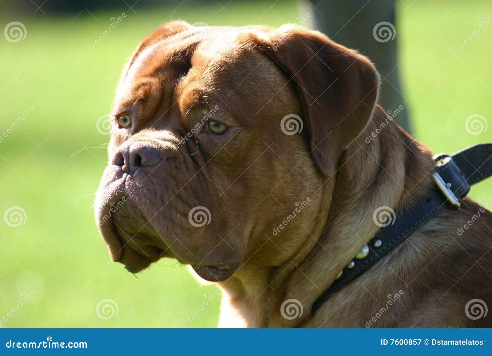 法国大型猛犬