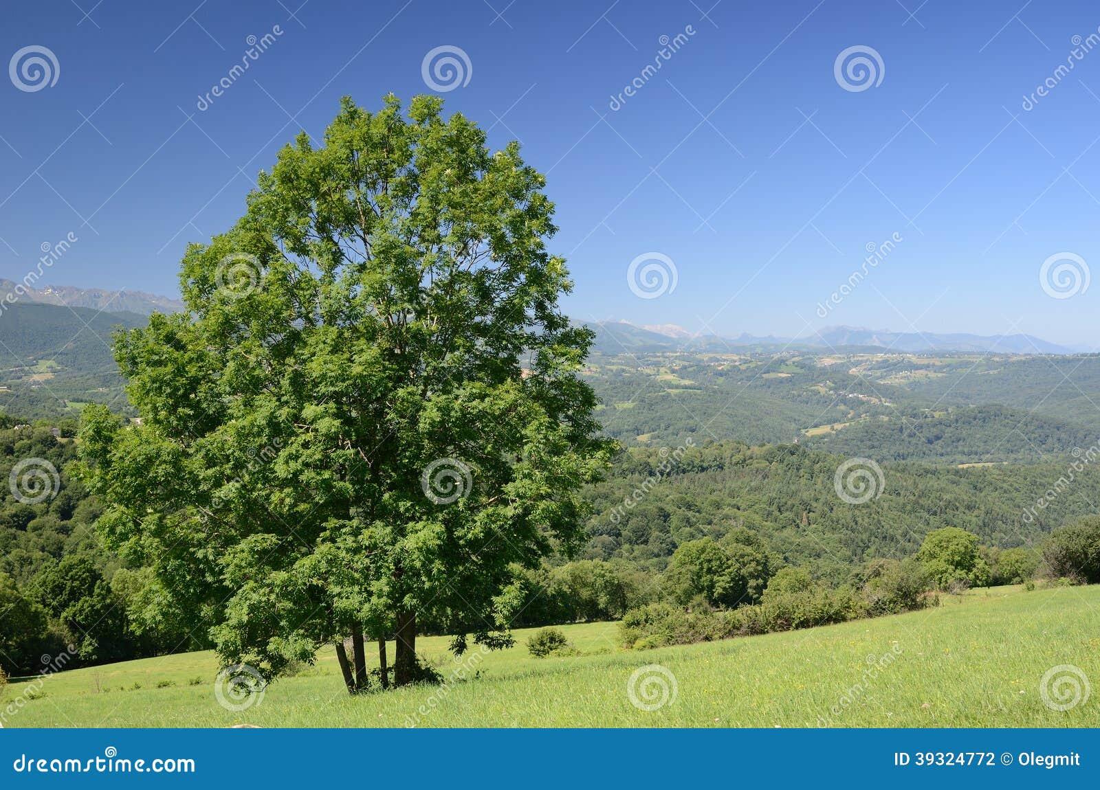 山麓玫瑰是密集地领域丛生的在宝坻比利牛斯.有一棵大树在树木或小丘.别墅法国小草甸湾图片