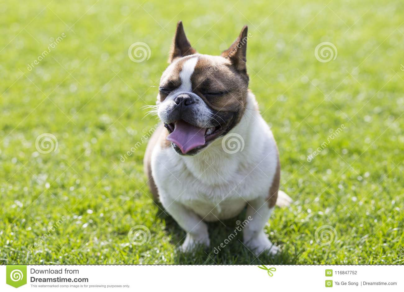 法国牛头犬