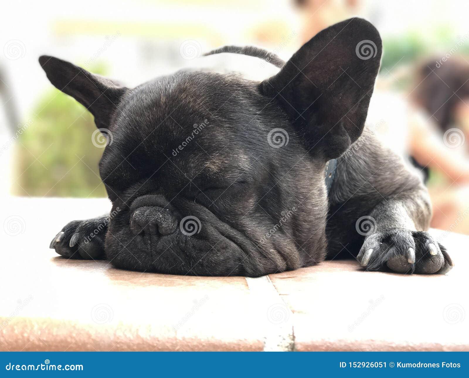 法国buldog睡眠