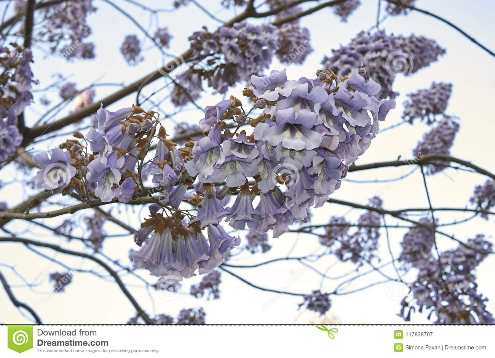 泡桐属tomentosa开花