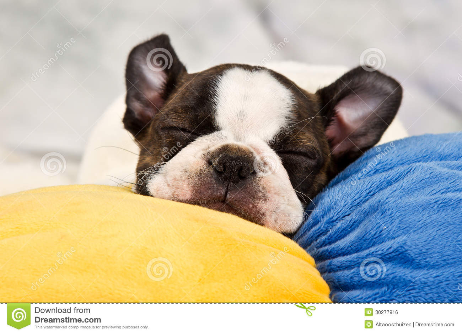 波士顿狗小狗睡眠