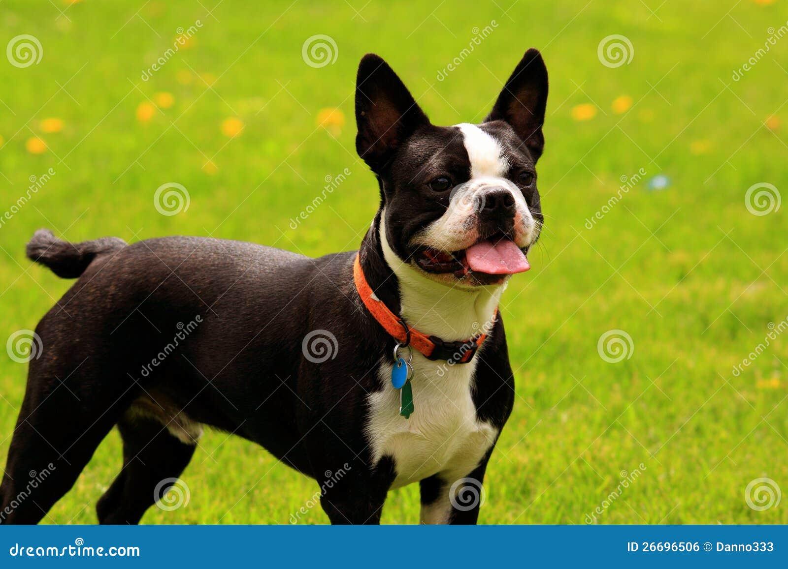 农夫色人和狗_与红色皮带的波士顿狗有绿色被弄脏的草背景.