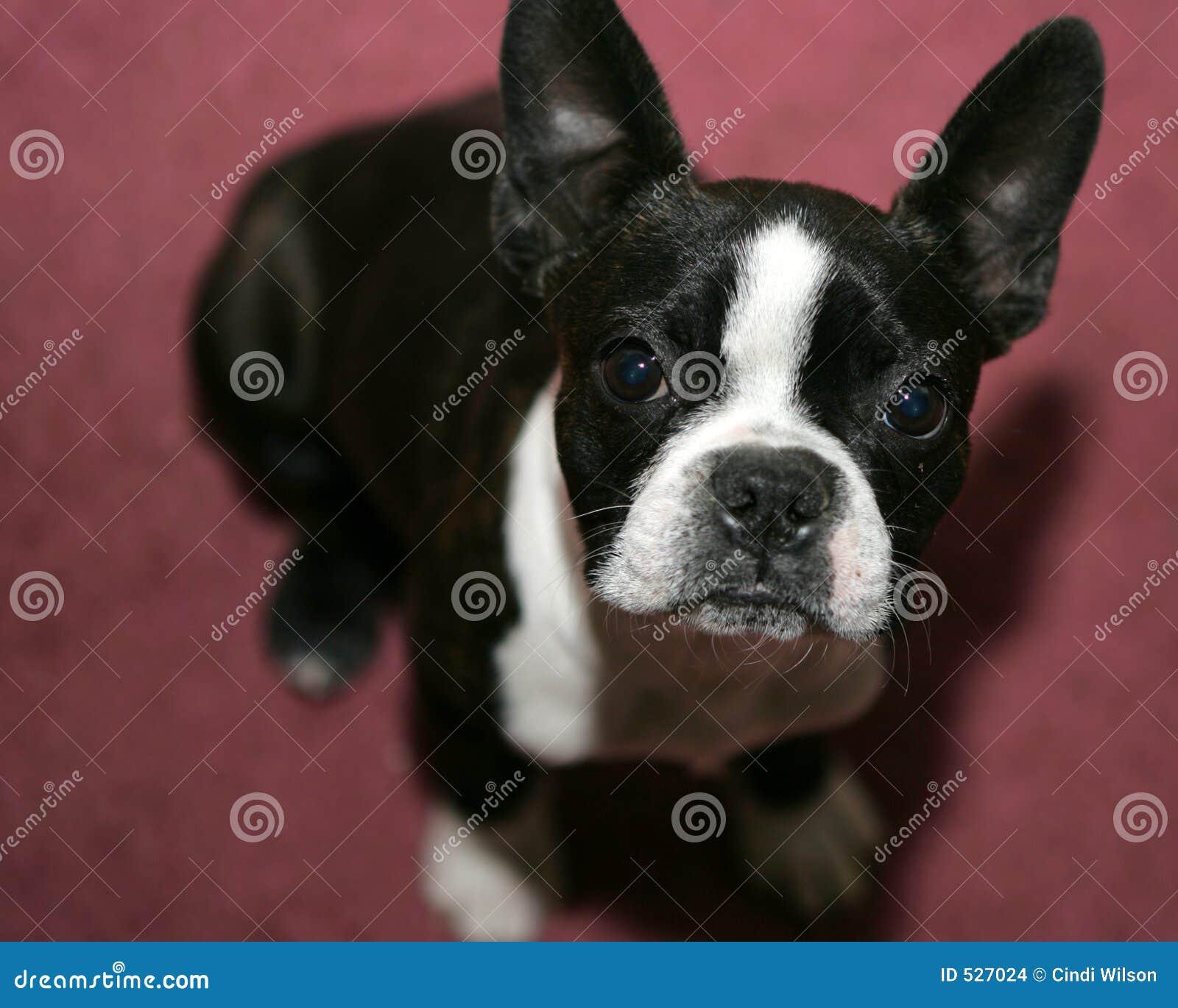 Download 波士顿狗 库存照片. 图片 包括有 国内, 酒精, 家谱, 纯血统, 查找, 朋友, 小狗, 笨蛋, 波西尼亚人 - 527024