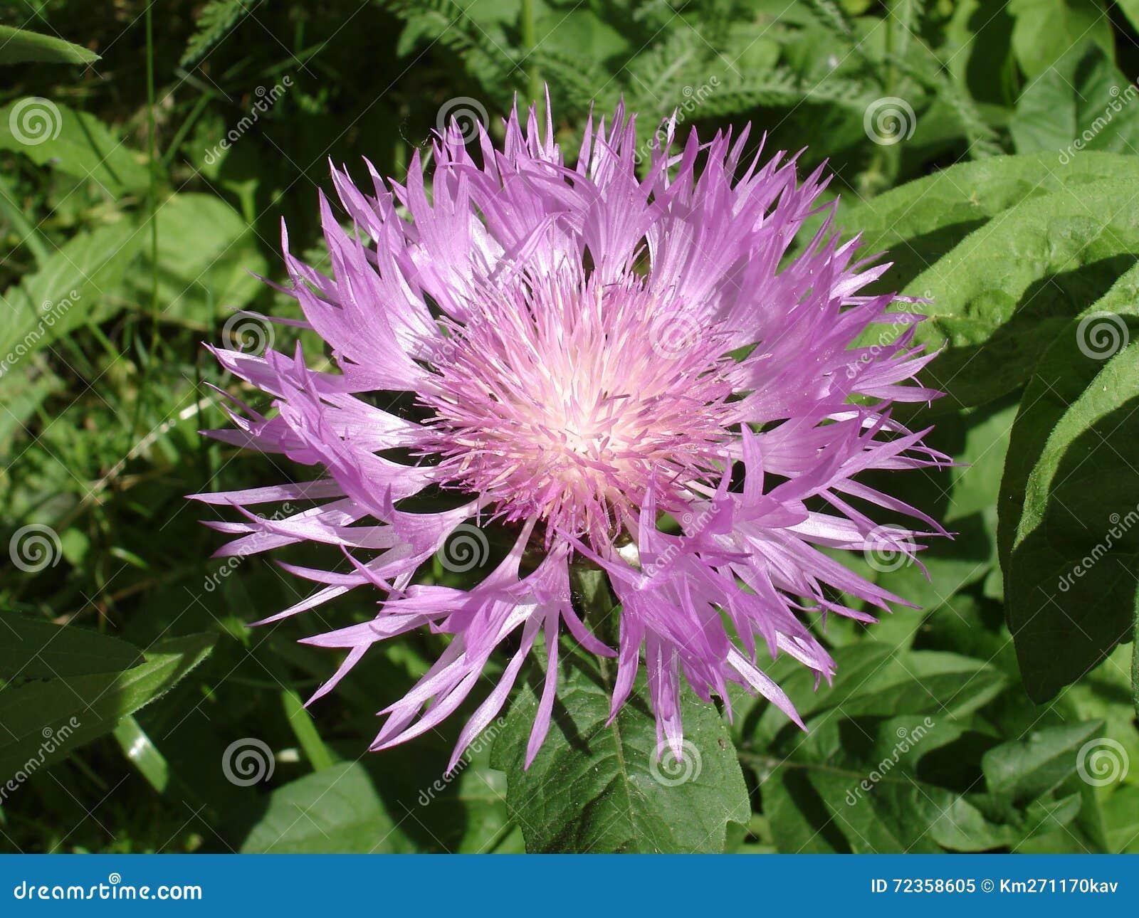 波斯矢车菊紫罗兰色花在一个晴天