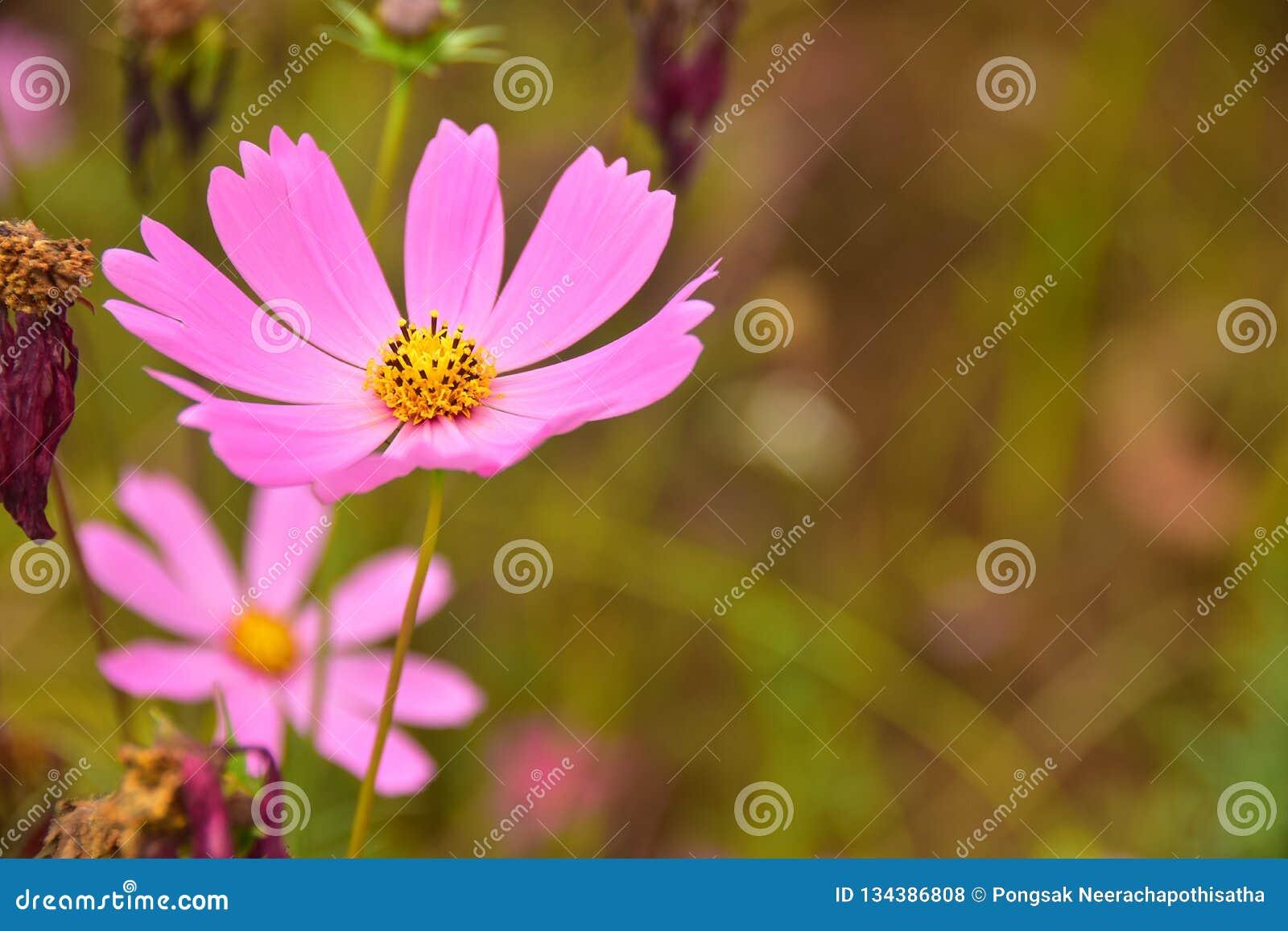 波斯菊桃红色美丽的花有Bur背景