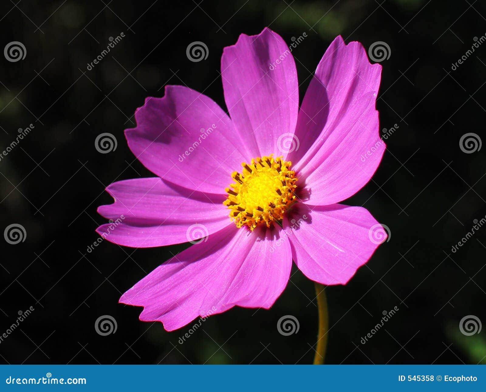 Download 波斯菊花粉红色 库存照片. 图片 包括有 有吸引力的, 特写镜头, 气味, 玻色子, 抗癌, 工厂, 本质, 雄芯花蕊 - 545358